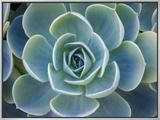 Close-Up of a Succulent Plant 額入りキャンバスプリント : ダイアン・ミラー