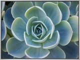 Close-Up of a Succulent Plant Framed Canvas Print by Diane Miller