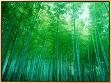 Bamboo Forest, Sagano, Kyoto, Japan Framed Canvas Print