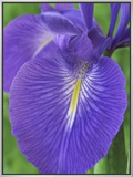 Iris Latifolia Framed Canvas Print by Chris Burrows