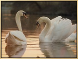 Two Swans on Water Framed Canvas Print by Robert Harding