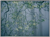 Dogwood Blossoms in a Foggy Forest Framed Canvas Print by Raymond Gehman