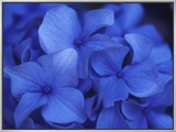 Close View of Blue Hydrangea Flowers, Cape Cod, Massachusetts Framed Canvas Print by Darlyne A. Murawski