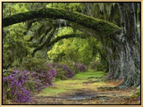 Coast Live Oaks and Azaleas Blossom, Magnolia Plantation, Charleston, South Carolina, USA Framed Canvas Print by Adam Jones