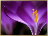 "Crocus Crysanthus ""Eye Catcher"" (Extreme Close-up) March Framed Canvas Print by James Guilliam"