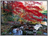Japanese Maple with Colorful, Red Foliage at a Stream's Edge, New York Framed Canvas Print by Darlyne A. Murawski