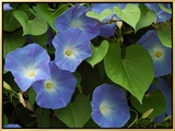 Morning Glories in Bloom in Arlington, Massachusetts, USA Framed Canvas Print by Darlyne A. Murawski