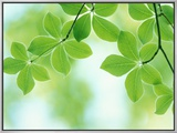 Selective Focus Close Up of Green Leaves Hanging from Tree Framed Canvas Print