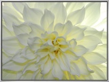 Close Up of a White Dahlia Flower Framed Canvas Print by Raul Touzon