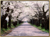 Row of Cherry Trees Framed Canvas Print