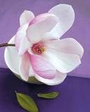 Composition Zen : Fleur de Magnolia Posters by  Beyler