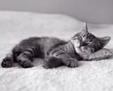Kotek Reprodukcje autor MaxyM