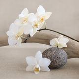 Orquídea blanca Láminas por  Chatelain