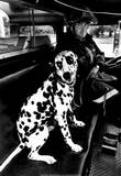 Dalmatian in Fire Truck Archival Photo Poster Posters
