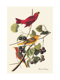 Summer Tanager Konst på metall av John James Audubon