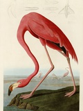 American Flamingo Metal Print by John James Audubon