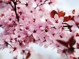 Japanese Cherry Blossom Kunst auf Metall von Kai Schwabe