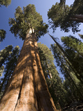 California, Sequoia National Park, General Sherman Tree, USA Metal Print by Michele Falzone