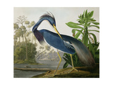 "Dreifarbenreiher aus der Serie ""Vögel Amerikas"" Alu-Dibond von John James Audubon"