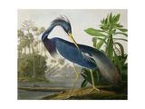 """Trefärgad häger ur """"Birds of America"""" Konst på metall av John James Audubon"""