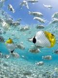 Tropical Fish in Bora-Bora Lagoon Reproduction sur métal par Michele Westmorland