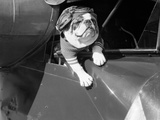 Dog Flying in Aircraft Metal Print by  Bettmann
