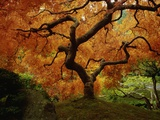 Maple Tree in Autumn Kunst auf Metall von John McAnulty