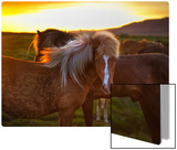 The Golden Horse in Iceland Metal Print by Trey Ratcliff