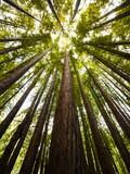 Trees in Mt. Tamalpais State Park, Adjacent to Muir Woods National Monument in California Metal Print by Carlo Acenas