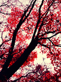 Fall Japanese Maples, Oakland Metal Print by Vincent James