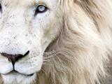 Full Frame Close Up Portrait of a Male White Lion with Blue Eyes.  South Africa. Art sur métal  par Karine Aigner