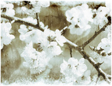 White Blossoms in Sepia Art