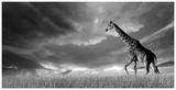 Giraffes, African Skies Posters