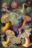 Actiniae Nature Poster by Ernst Haeckel Posters by Ernst Haeckel