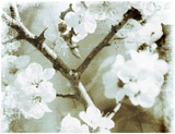 White Blossoms in Sepia II Posters