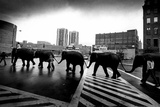Circus Elephants Crossing Road Archival Photo Poster Prints