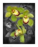 Cymbidium Orchid Green Pôsters por Igor Maloratsky