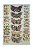 Papuan Moths, 1917-18 Giclee Print by Marian Ellis Rowan