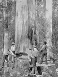 Felling a Blue-Gum Tree in Huon Forest, Tasmania, c.1900, from 'Under the Southern Cross -… Photographic Print by  Australian Photographer