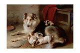 A Collie with Fox Terrier Puppies, 1913 Giclée-tryk af Walter Hunt