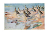 Curlew at Blakeney Point, Illustration from 'Wildfowl and Waders' Giclee Print by Frank Southgate