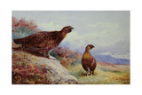 Red Grouse on the Moor, 1917 Giclee Print by Archibald Thorburn
