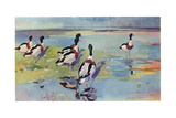 Shelducks on the Flats, Illustration from 'Wildfowl and Waders' Giclee Print by Frank Southgate