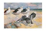 Black-Backed Gulls, Illustration from 'Wildfowl and Waders' Giclee Print by Frank Southgate