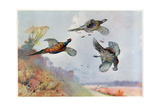 High Pheasants, Illustration from 'Wildfowl and Waders' Giclee Print by Frank Southgate