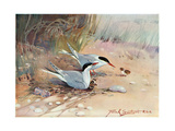 Common Tern, Illustration from 'Wildfowl and Waders' Reproduction procédé giclée par Frank Southgate