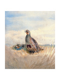 Two English Partridges, 1903 Giclee Print by Archibald Thorburn