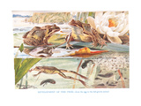 Development of the Frog, Illustration from 'Country Days and Country Ways' Giclee Print by Louis Fairfax Muckley