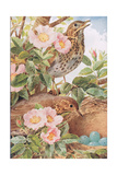 Song Thrushes with Nest, Illustration from 'Country Days and Country Ways', 1940s Giclee Print by Louis Fairfax Muckley