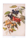 Cherries, Illustration from 'Country Days and Country Ways' Giclee Print by Louis Fairfax Muckley